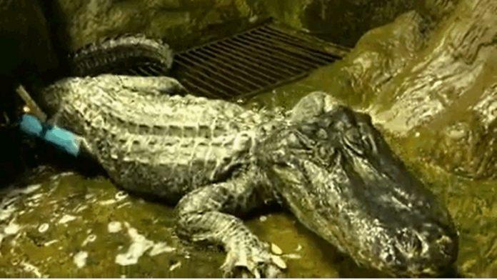 俄二戰奇蹟幸存短吻鱷逝世 結束84年傳奇   星島加拿大都市網 多倫多