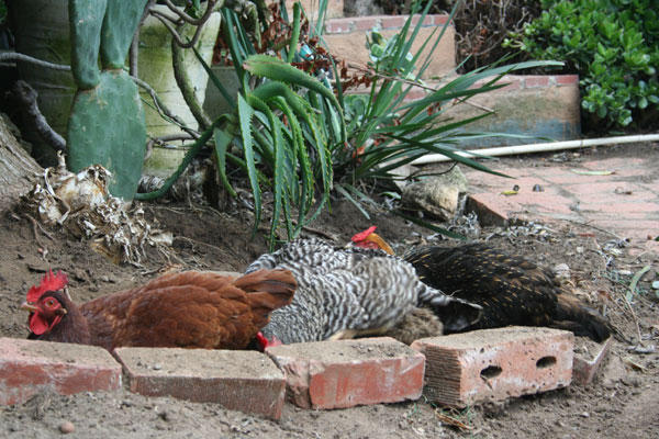 Chickens Taking a Dirt Bath