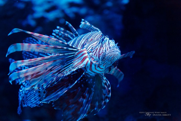 16 Lionfish
