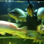 Tilapia fish swimming in a DIY home aquaponics system