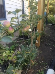 A grafted combination Spartan, Honeycrisp, and Fuji apple tree trained espalier along the West fence my yard in the Edmonton neighbourhood of McCauley.