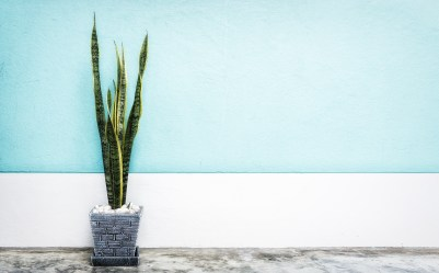 interior decoration, Sansevieria trifasciata or Snake plant in gray pot at room