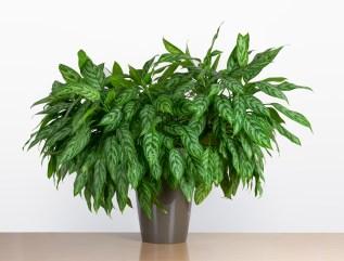 Large Aglaonema Maria, Chinese evergreen houseplant