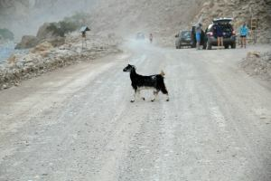 Goats for company at Wadi Bih Ultra Run in the Sultanate of Oman.