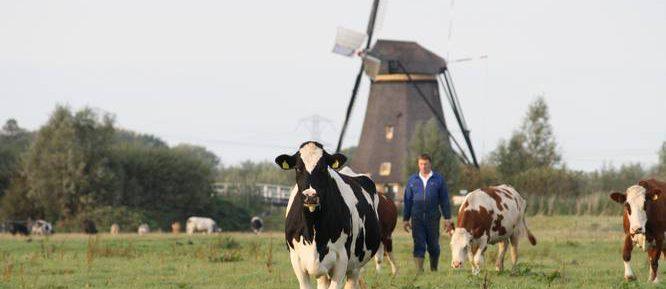 Andre wei koeien