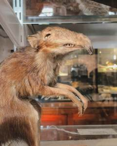 close-up of a taxidermy Elephant Shrew at Grant Museum of Zoology