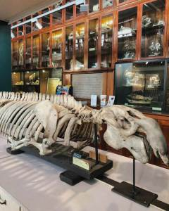 animal skeleton at the Grant Museum of Zoology