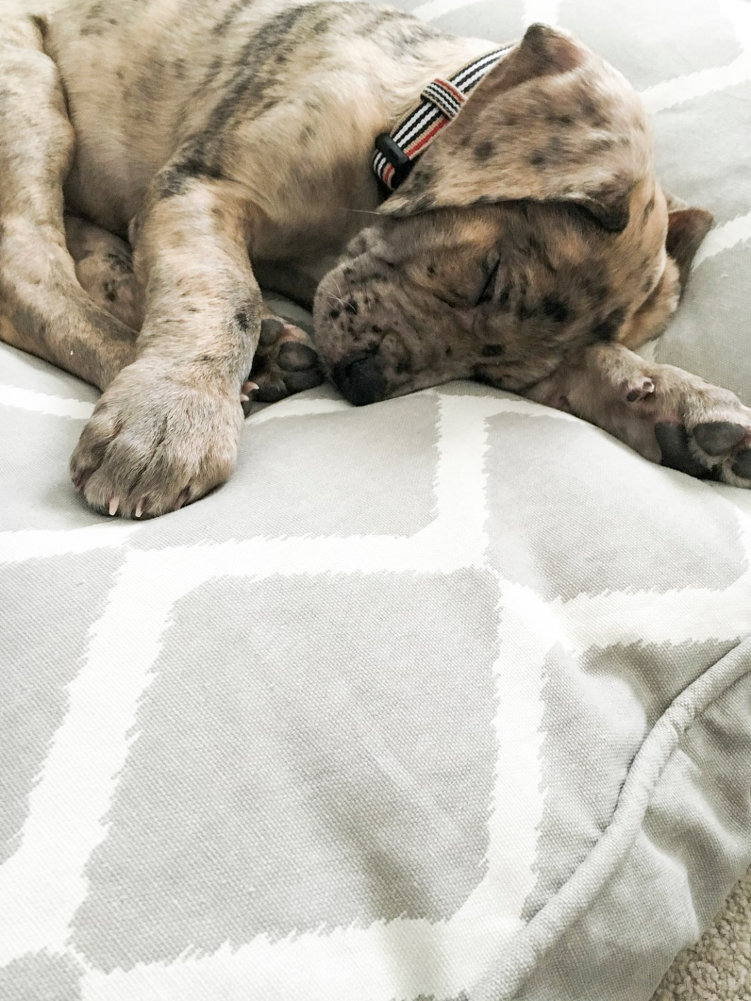 New Puppy Freyja The Daniff | Dutchie Love