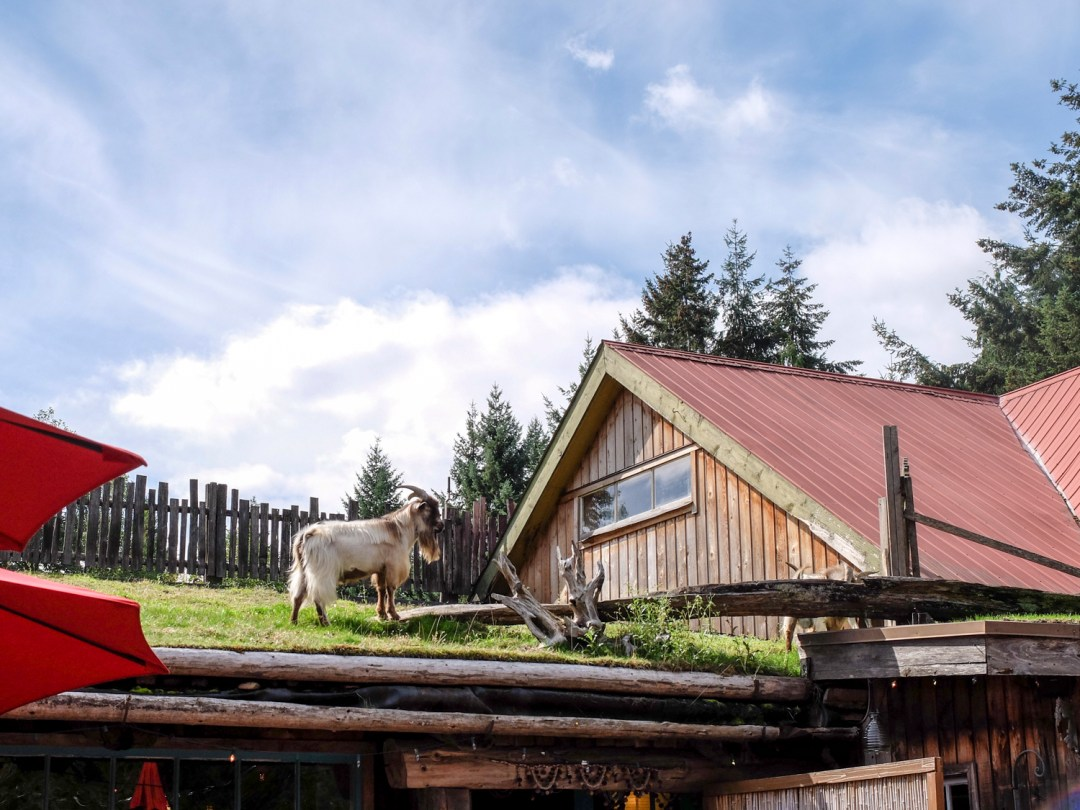 Vancouver Island Coombs Goats on a Roof | Dutchie Love