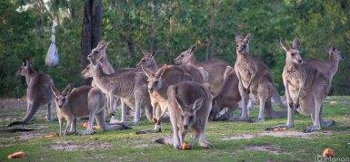 Kangaroos-1