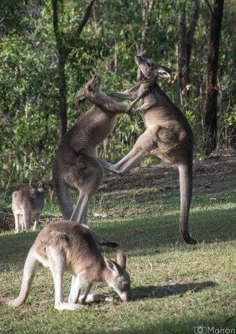 Kangaroos-8