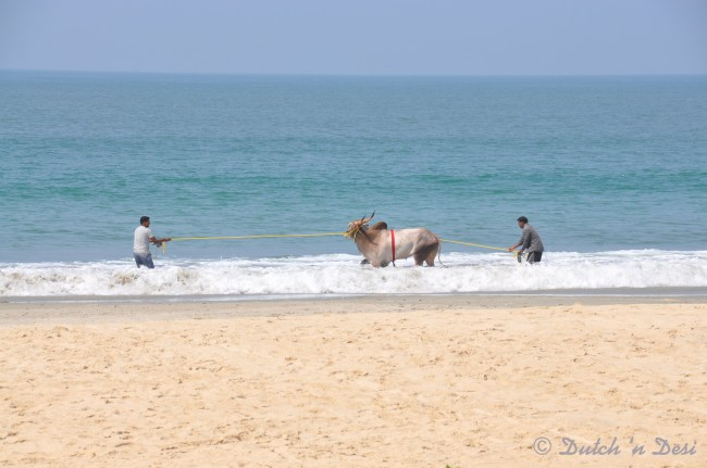 Even cows like the ocean