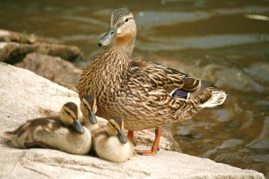 Ducklings and their mom