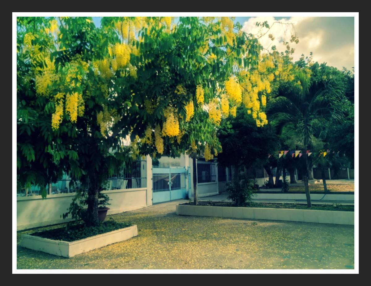Rực sắc hoa vàng ở ngôi trường TH Phong Thạnh Tây A