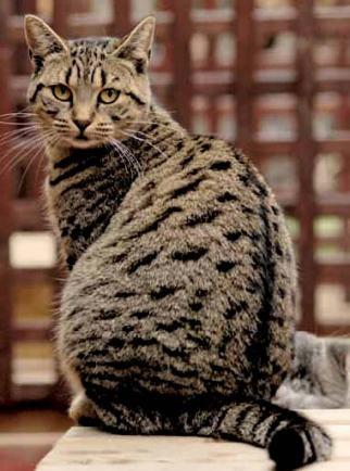 Enciclopedia mundial de gatos