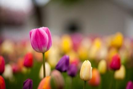 Tulip Pella iowa