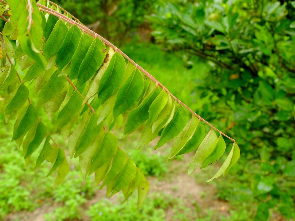 A tak wyglądają liście curry