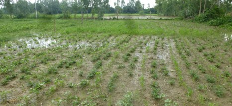 A wet and slushy field after a night of heavy rains in Pipri, Sitapur Dt. UP