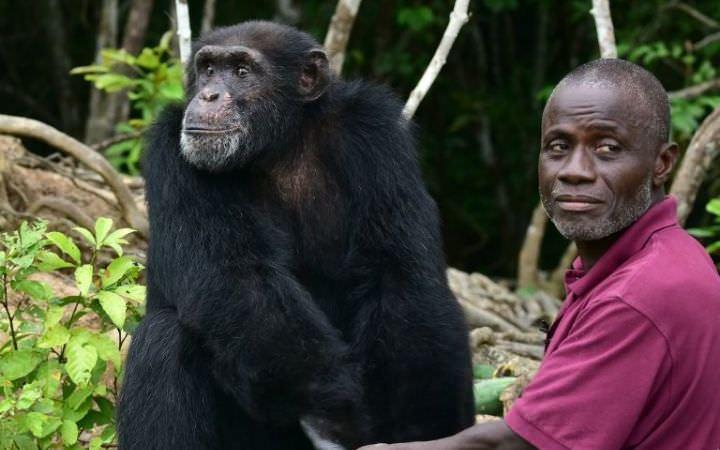 En Côte d'Ivoire, Ponso, le dernier survivant de l'île aux chimpanzés