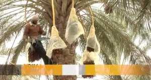 En Tunisie, la saison de la cueillette des dattes touche bientôt à sa fin