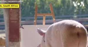 Un cochon montre ses talents de peintre