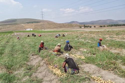 Les femmes récoltant les pommes de terre dans la ferme