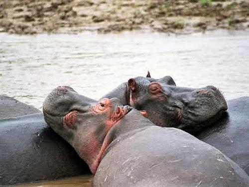 Tanganyika un hippopotame empeche la traversee sur la riviere - Tanganyika : un hippopotame empêche la traversée sur la rivière Lukuga