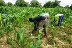 Banamba: Situation de la campagne agricole du cercle