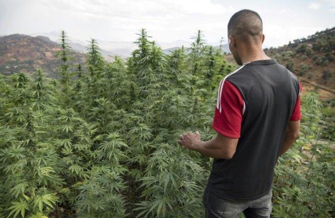 AuMaroc, le cannabis «terroir» supplanté par les hybrides