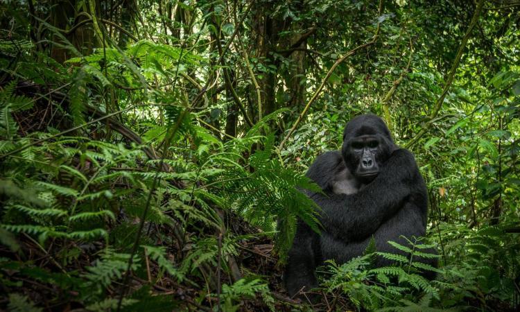 Le nombre de gorilles des montagnes en hausse au Congo et en Ouganda (WWF)