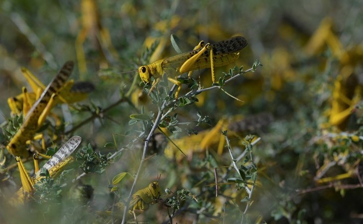 criquets devorent vegetation village Larisoro Nairobi 21 janvier 2020 1 729 486 - Les criquets, dernière plaie d'une Afrique de l'Est accablée par des variations climatiques extrêmes
