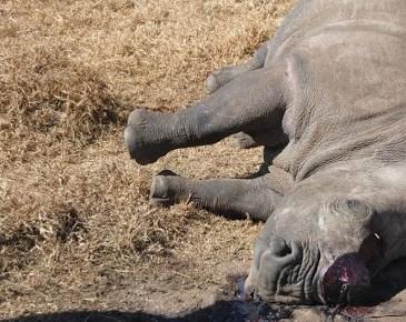 AFRIQUE DU SUD | Baisse significative du nombre de rhinocéros tués par des braconniers en 2019