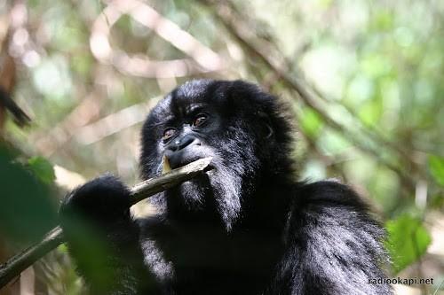 Nord Kivu : Naissance d'un gorille au Parc National des Virunga