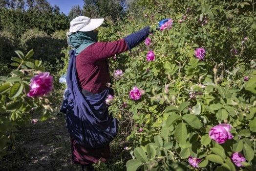 thumbnail 524x349 - AuMaroc, le dur labeur des cueilleuses de roses