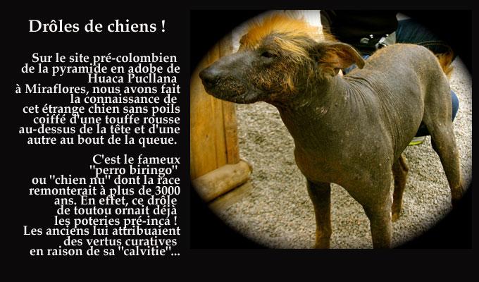 chien_chauve