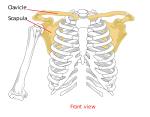 Which is not a rotator cuff muscle?