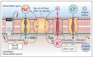 nerve-membrane