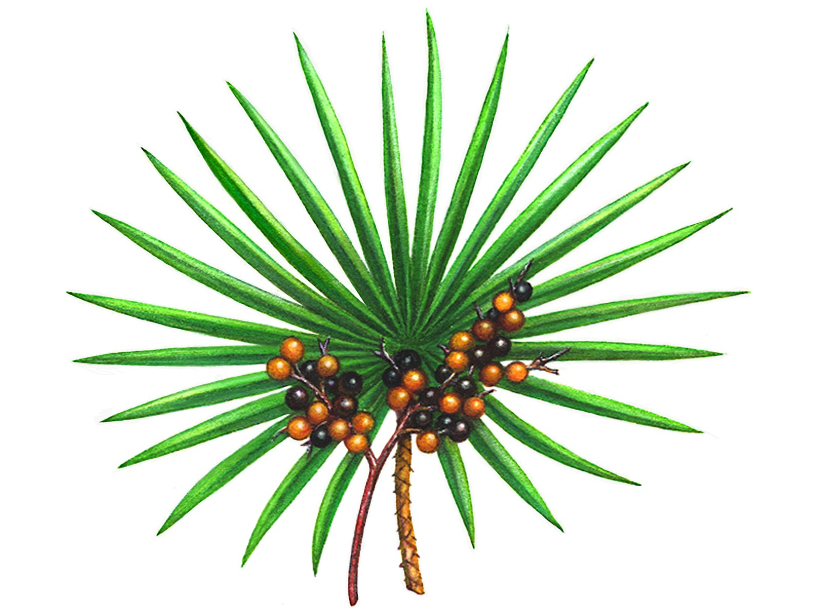 Image result for Saw Palmetto