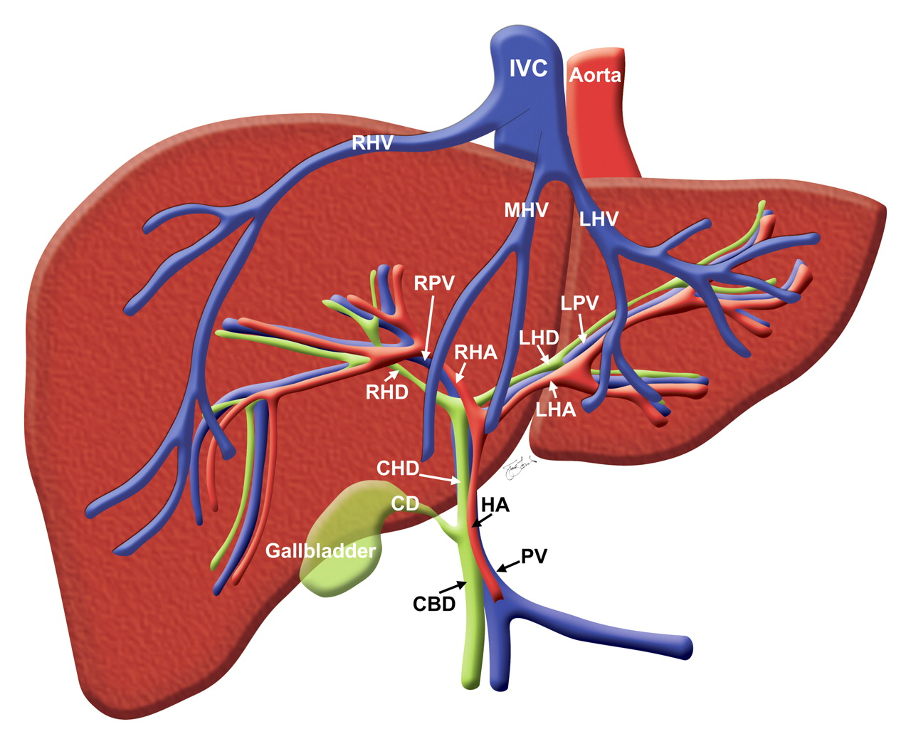 labeled diagram of abdominal vasculature totaline thermostat wiring p274 right hepatic duct causes symptoms treatment