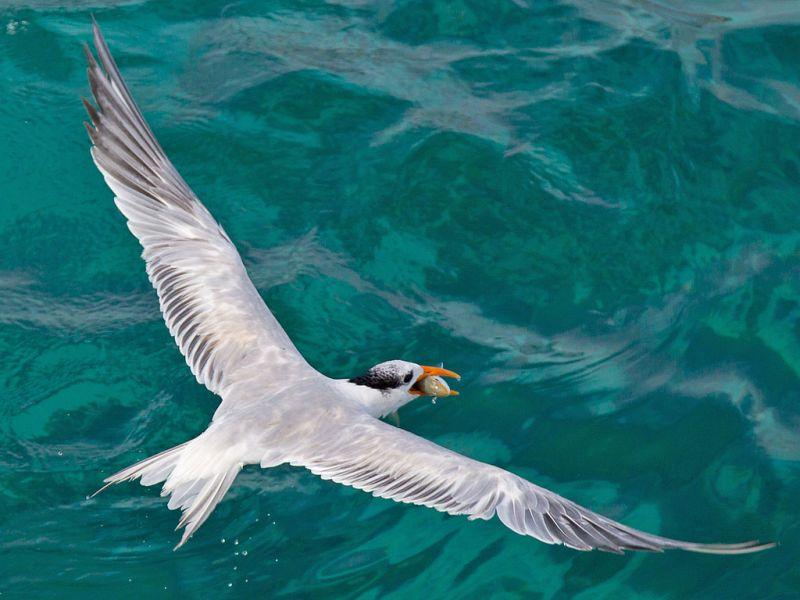 Aruba P40XM Royal Tern.