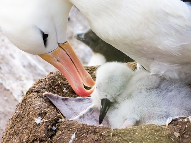 Falkland Islands VP8RHF Tourist attractions spot Black-browed Albatross (Thalassarche melanophris), West Point Island.