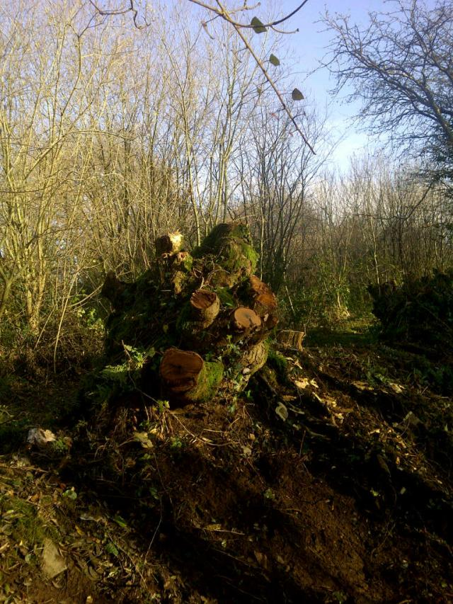A coppiced Laburnum stool