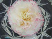 """Camellia (""""Margaret Davis')"""
