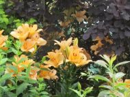 Lilies and cotinus