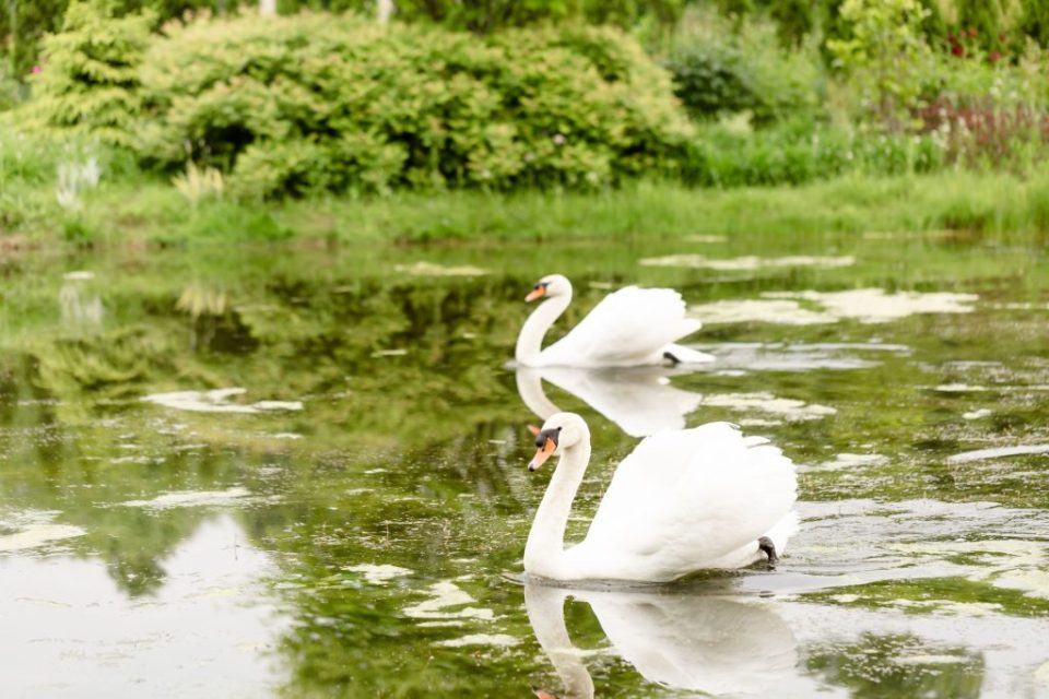 2 swans floating on the water at Whistling gardens botanical gardens in Ontario