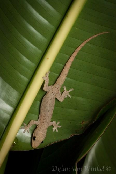 Hemidactylus frenatus (Bialla)