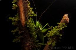 Unidentified Tettigoniidae