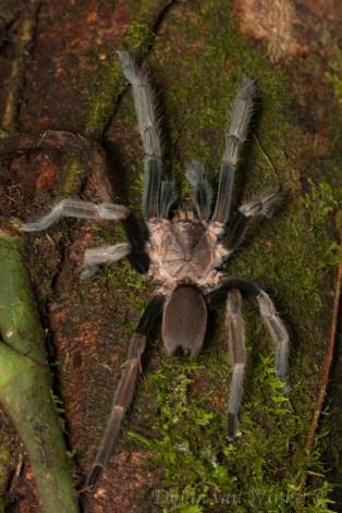"Unidentified Theraphosidae (""tarantula"")"