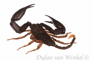 Unidentified forest scorpion