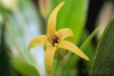 Pittosporum cornifolium and pollinator